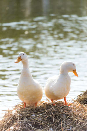 cackle: White ducks stand next to a pond or lake with bokeh background Stock Photo
