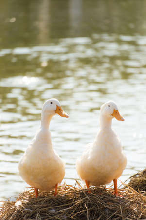 White ducks stand next to a pond or lake with bokeh background Reklamní fotografie