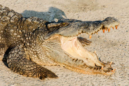 siamensis: Close up wildlife crocodile with a toothy grin Stock Photo