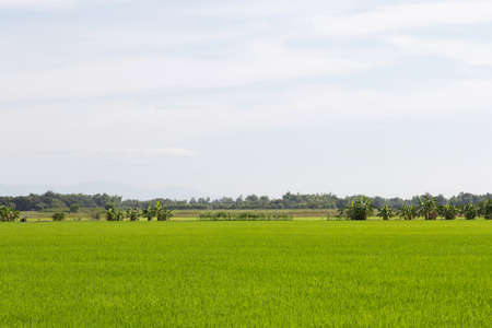 Rice field green grass and cloudy sky, background