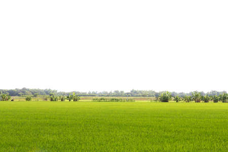 Rice field green grass isolated on white background