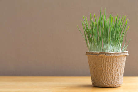 Green organic wheatgrass in the recycled paper pot on wood table and brown wall
