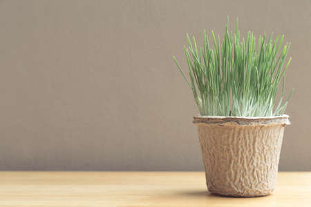 Green organic wheatgrass in the recycled paper pot on wood table and brown wall, vintage photo Reklamní fotografie