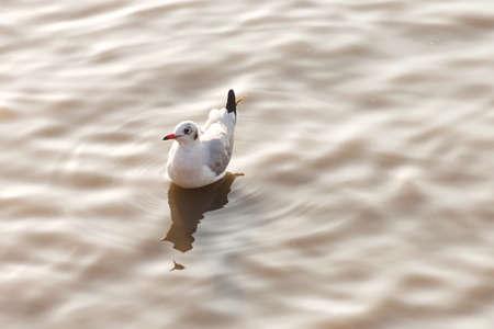 seagull floating on a ripple water surface Reklamní fotografie