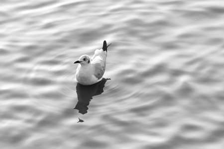 seagull floating on a ripple water surface, black and white photo