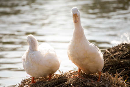 White ducks stand next to a pond or lake with bokeh background Stock Photo