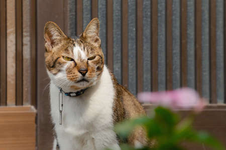 domestic young male japanese tabby cat is sitting at the front door house and in angry after the travelers try to take a photo. animal, pet and travel concept. Reklamní fotografie
