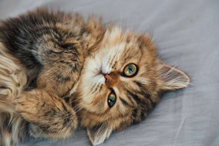portrait of cute happy british longhair chinchilla persian kitten cat waking up and playing on the cat bed in the bedroom and looking to the camera on sunday morning. animal and pet lifestyle concept. Reklamní fotografie