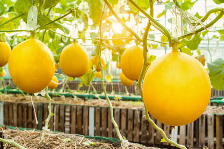 fresh organic yellow cantaloupe melon or golden melon ready to harvesting in greenhouse at melon farm with sunbeam. agriculture and fruit farm concept. selective focus.