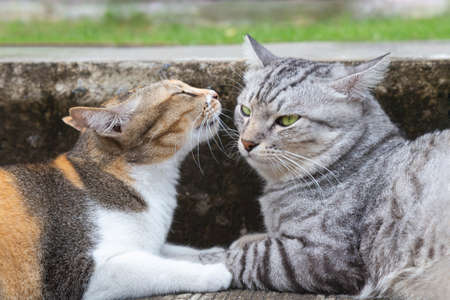 cute and lovely calico female cat kissing male american shorthair cat on the ground at the city road. love and romantic moments. pet and animal city lifestyle concept.