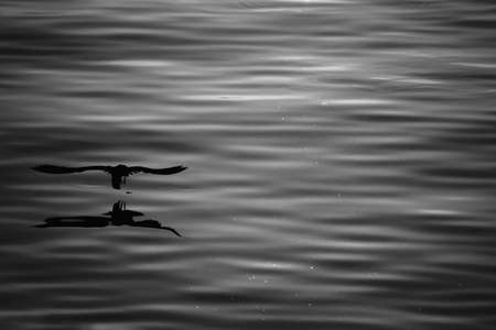 silhouette seagull flying over the sea with shadow reflection at sunset light. beautiful bird action in nature life with copy space. black and white photo