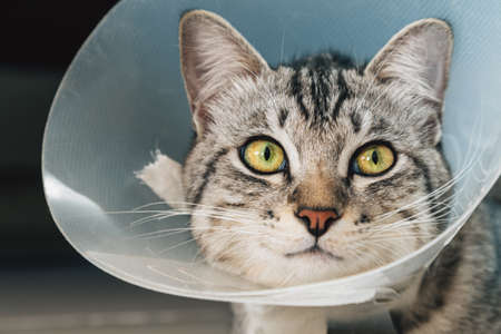 happy young american shorthair cat in veterinary plastic cone or E-Collar (Elizabethan Collar) in the head at recovery after surgery. animal healthcare and pet concept Stock Photo