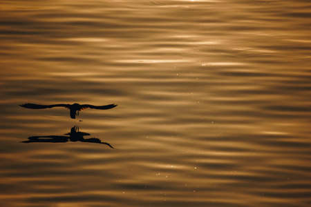 silhouette seagull flying over the sea with shadow reflection at golden sunset. beautiful bird action in nature life with copy space.