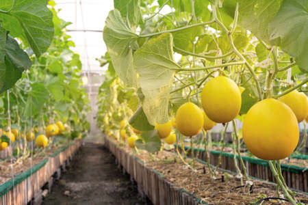 fresh organic yellow cantaloupe melon or golden melon ready to harvesting in the greenhouse at the melon farm. agriculture and fruit farm concept