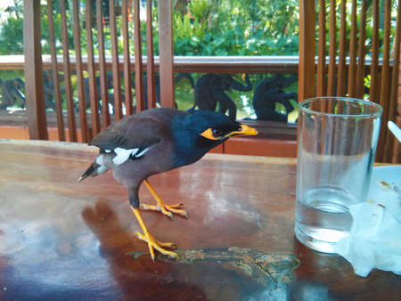 curiously: Common Hill Myna bird curiously looks at the glass