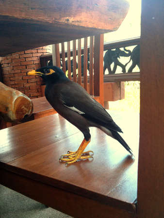 common vision: Common Hill Myna bird