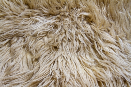 texture of natural white sheep fur with long hair photo