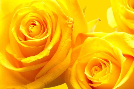Yellow roses- detail on yellow background
