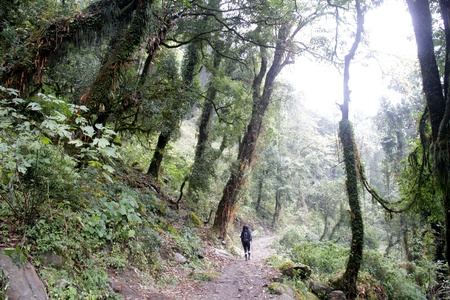 Hiking through rhododendron forest in Nepal Himalaya in foggy day