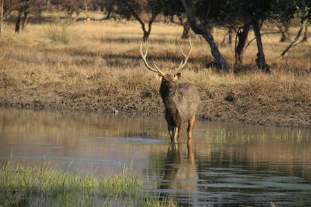 Male sambar deer in lake, Ranthambore park, India Stock Photo