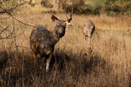Two sambar deer female eating in long grass, Ranthambore national park, India Stock Photo
