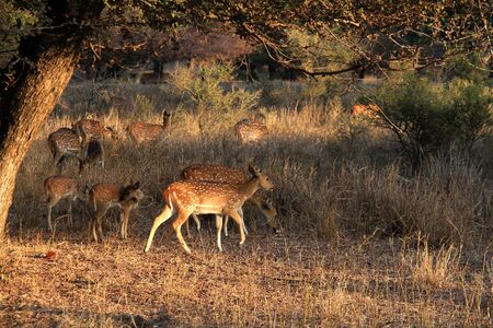 youngly: Group of asian spotted deer female and calfs in afternoon light in grass Stock Photo