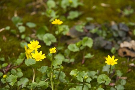 Nature - seasons specifics - spring flower lesser celendine (ranunculurus ficaria)