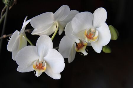 Group of White orchid flowers in bloom over dark background