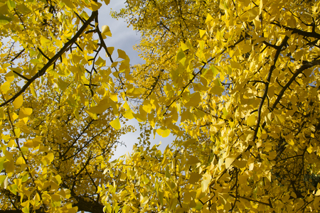 Seasons specifics - fall - view of yellow gingko tree in park Stock Photo