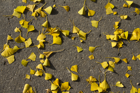 Seasons specifics - fall - yellow ginkgo leave background