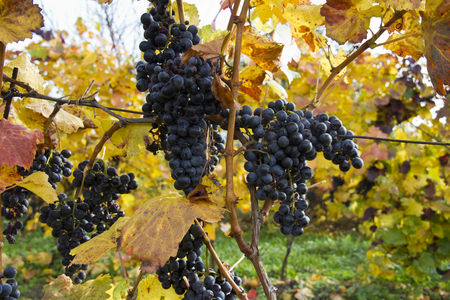 Detail of purple grapes in wineyard with yellow leaves, horizontal
