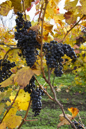 Detail of purple grapes in wineyard with yellow leaves, vertical Stock Photo