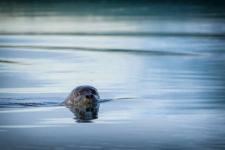 Beautiful Ringed seals (Phoca hispida) at Joekulsarlon, Iceland Stok Fotoğraf
