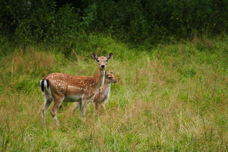 Doe with a fawn