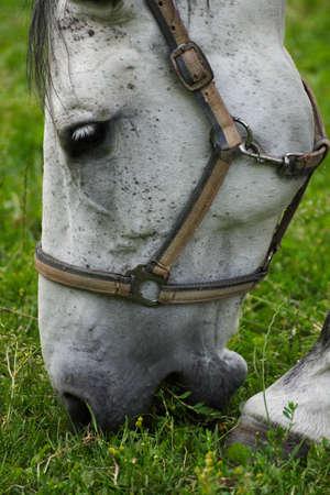whitehorse: White horse  Stock Photo
