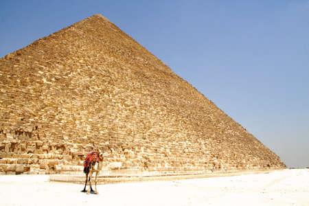 Pyramid and camel  Stock Photo