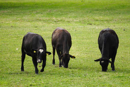 Cows in a meadow  Stock Photo