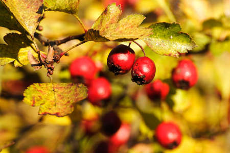 Red hawthorn fruits in autumn