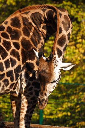 Giraffe bends her neck for feeding