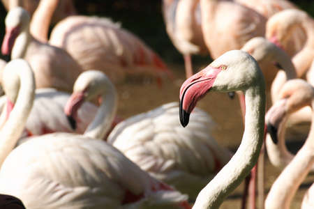 The leader of greater flamingos group
