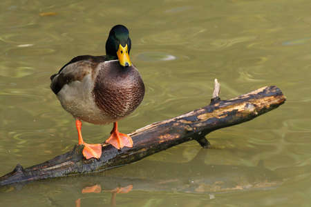 Wild duckresting on a timber Stock Photo - 16049598
