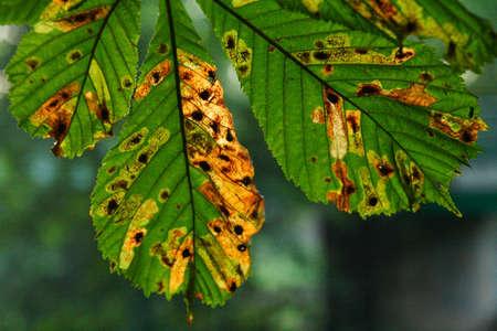 살균제: 말 밤나무 나무는 가을에 잎 스톡 사진