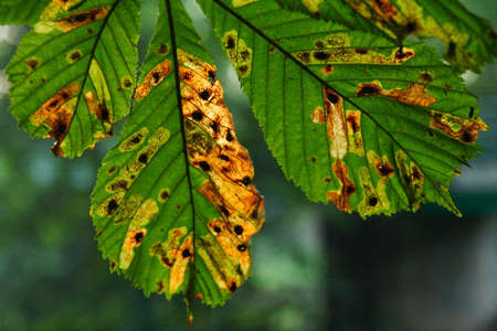 fungicide: horse-chestnut tree leaves in autumn