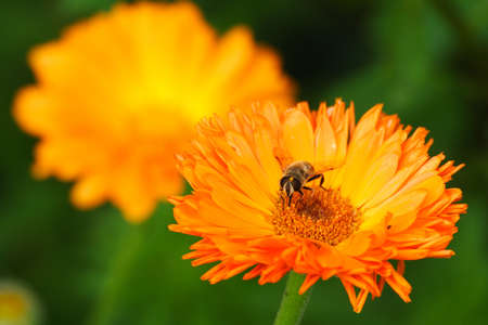 Hoverfly sitting on a pot marigold Stock Photo
