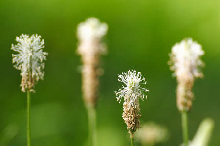 cough medicine: Ribwort plantain perfect for cough medicine
