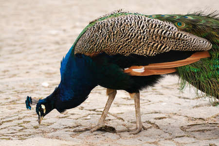 Peacock is searching for some food Stock Photo