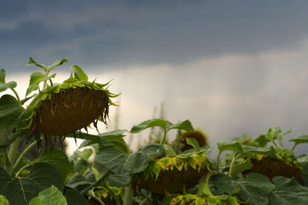 Withered sunflower waiting for heavy rain