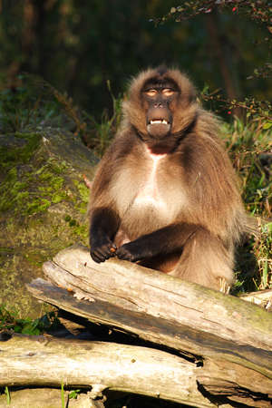 Gelada baboon sitting and waiting for the food