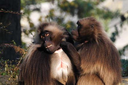 Gelada baboon cleening skin of his best mate