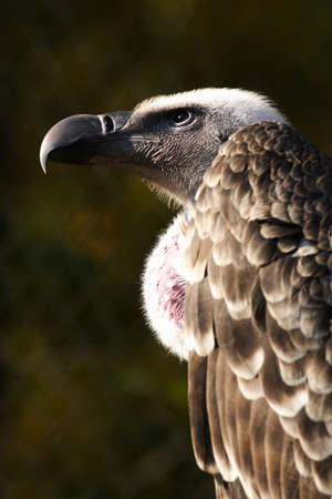 Profile of old world vulture